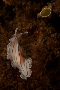 A Flatworm (unknown species) by Paul Colley 